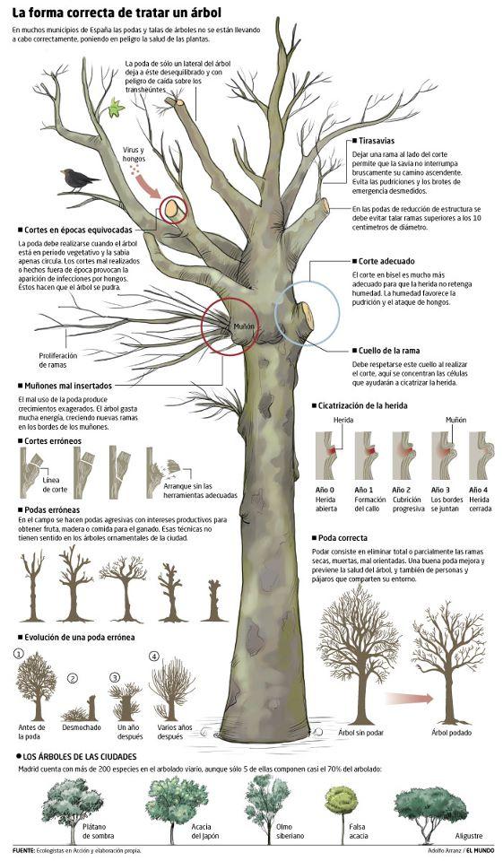 Infografia de como podar un arbol medio ambiente for Arboles ornamentales para jardin