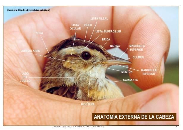 ANATOMÍA EXTERNA_oenitologia