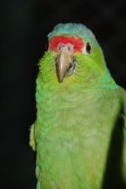 loro frentirrojo (Amazona autumnalis). Grosero3