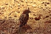 Gorrión, curso, medio ambiente, malaga, ornitología, pajaros