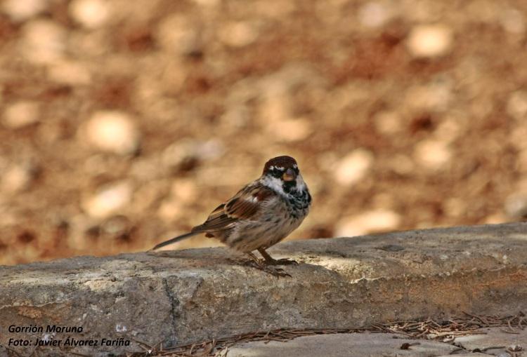 Gorrión, ornitología, curso, formación