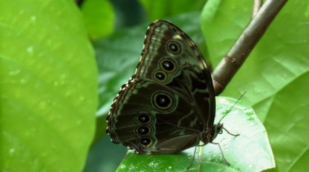 mariposa_buterrfly_paraiso_carlisa