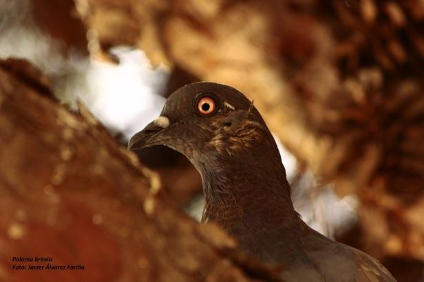 Ornitología, curso, paloma
