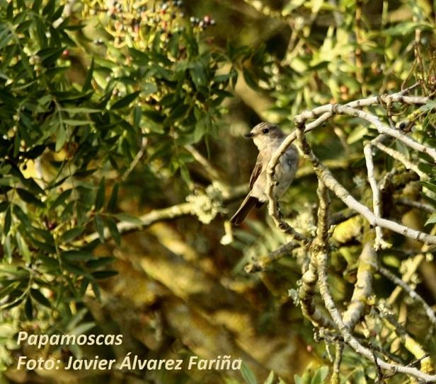 papamoscas, españa, ornitología