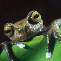 anfibios-ecuador-