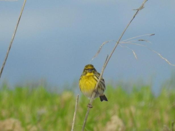 Fotografía de pájaro amarillo sobre rama. tomada por Sfera Proyecto Ambiental